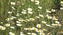 Łąka, kwiaty polne - maj 2020 [przebitki] Baza przebitek