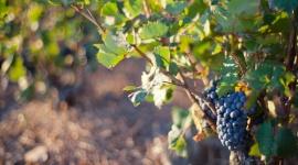 Wpływ pandemii COVID-19 na branżę winiarską